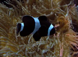 Clownfish Stock 4: Black by HOTNStock
