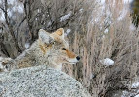 Coyote profile by wildfotog