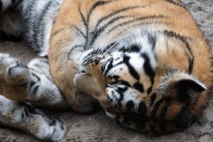 Sleeping Tiger by Vertor