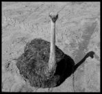 Ostrich Ambivalence by lurath