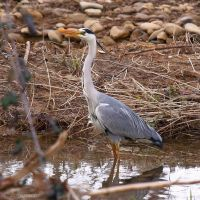 Grey Heron again by Jorapache