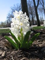 white hyacinths 01 by CotyStock
