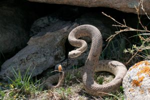 Angry Prairie Rattler by Ironpaw