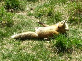 Victoria the Red Fox by DaybreaksDawn