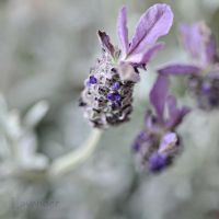 first lavender 3 by MorkOrk
