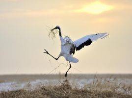Red-crown crane by laogephoto