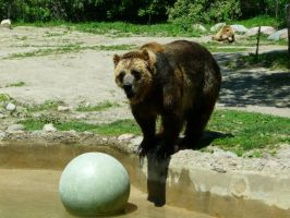 Grizzly Bear 17 by Unseelie-Stock
