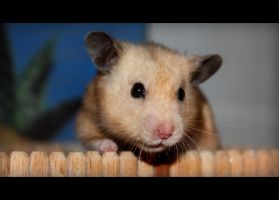 Karl-Heinz ... the hamster by linyphia