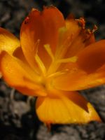 Orange Crocus 1 by Jenna-RoseStock