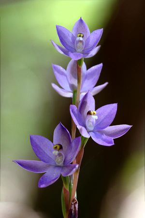 Azure Sun Orchid by Ratabago