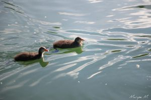 Baby coots II by oxalysa