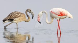 Growing up - Greater Flamingos by Jamie-MacArthur
