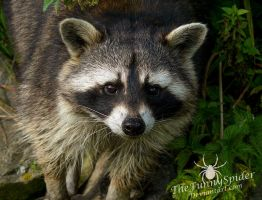 Raccoon - Procyon lotor - Portrait by TheFunnySpider