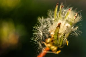 Near Escaped Dandelion Seeds by EagleNebulosity