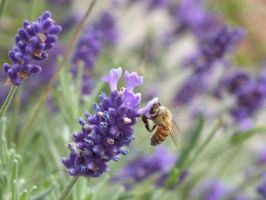 lavender and bee by pixi5