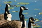 Geese by C-Goodall