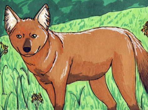 Dhole ATC by bruisedhound