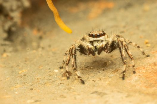Angry Bub :-] [jumping spider] by Kisarisary