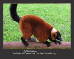 Red Ruffed Lemur by Setsuna-phoenix