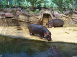 Hippos by unique2063