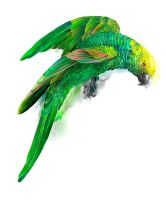 parrot by oneda