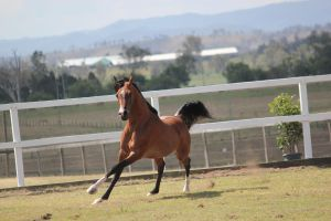 Bay Long stride canter by xxMysteryStockxx