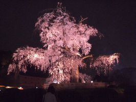Night shot of Cherry Blossoms by DISC-Photography