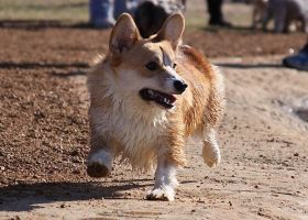 The Corgi Strut by xDhampir