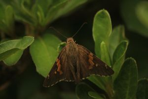 silver spotted skipper butterfly by paws720