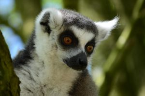 RING TAILED LEMUR by major-holdups