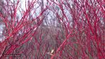 Red Twigs by HSChacko