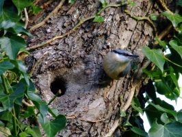 Nuthatch by AJKent