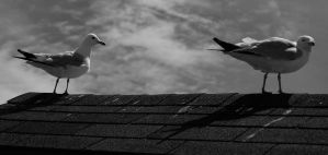 Two Seagulls by Ranefea