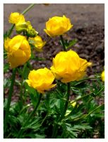 TROLLIUS by Elass