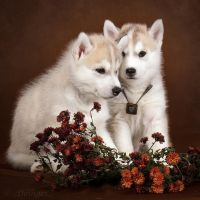 Little Huskies by DeingeL-Dog-Stock