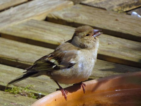 Young Chaffinch by Audierne
