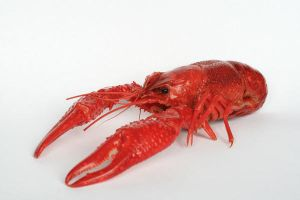 red crayfish 2 by doko-stock