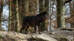 Black Timberwolf by Blackwolf-Kuzoku