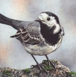 Wagtail by EsthervanHulsen