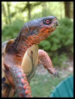 Eastern Box Turtle by autumn-rains