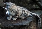 Snow Leopard Stock 38: Cub by HOTNStock