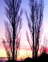 towering twin trees by noonfeather