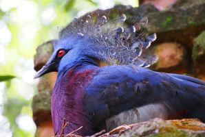Victoria Crowned Pigeon by ShutterSerpent