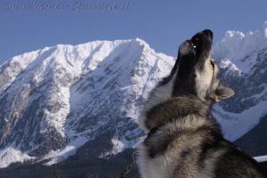 Kimmo, my greenland dog by Manu-NordicStorm