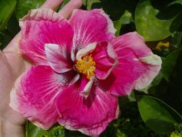 Giant Hibiscus by Star-Clair