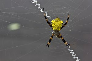 yellow web by druinfly