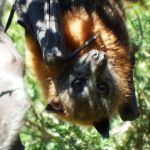 Flying fox face 1 by wildplaces