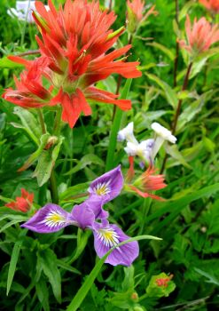 Indian Paintbrush and Wild Iris by MegMcMuffin