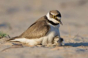 Little Ringed Plover With Chick by Sergey-Ryzhkov