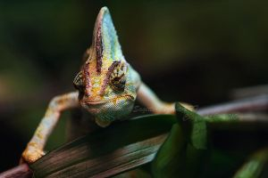 Curious Chameleon by Sagittor